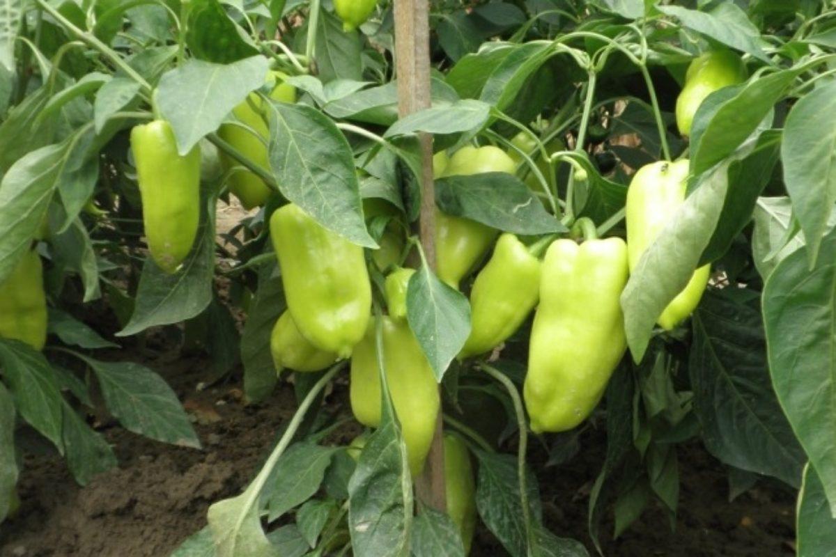 Pestovanie papriky
